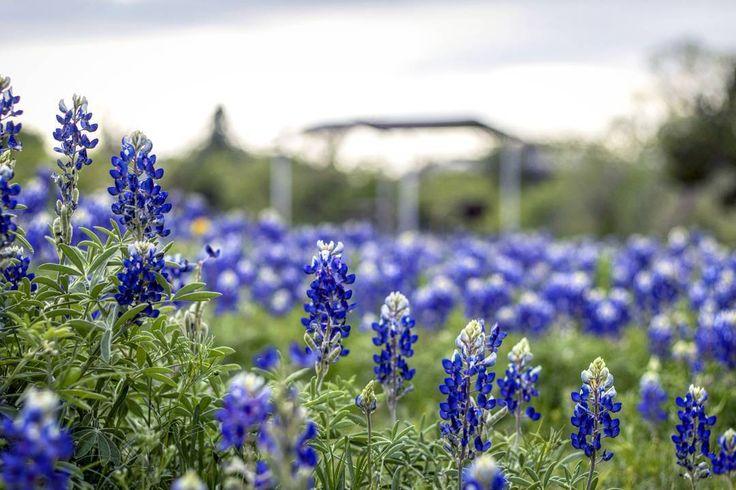 #texashillcountry #texasstateparks #texas #texan #bluebonnets #texas🇨🇱 #texaslove #texaslife   Pic by @tonymaples