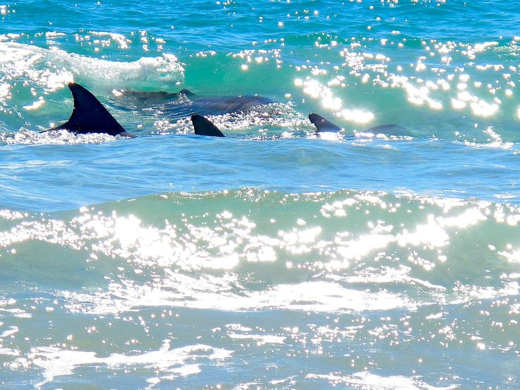 Dolphins at Port Willunga beach