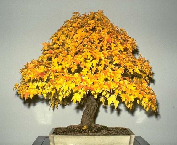 120 Best Images About Bonsai On Pinterest Bonsai Trees
