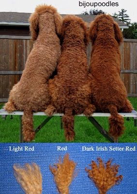 Nice reference for the different types of red poodles.