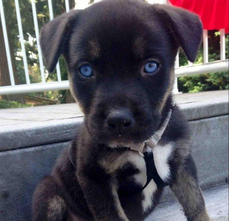 Greyhound Husky Pitbull Mix