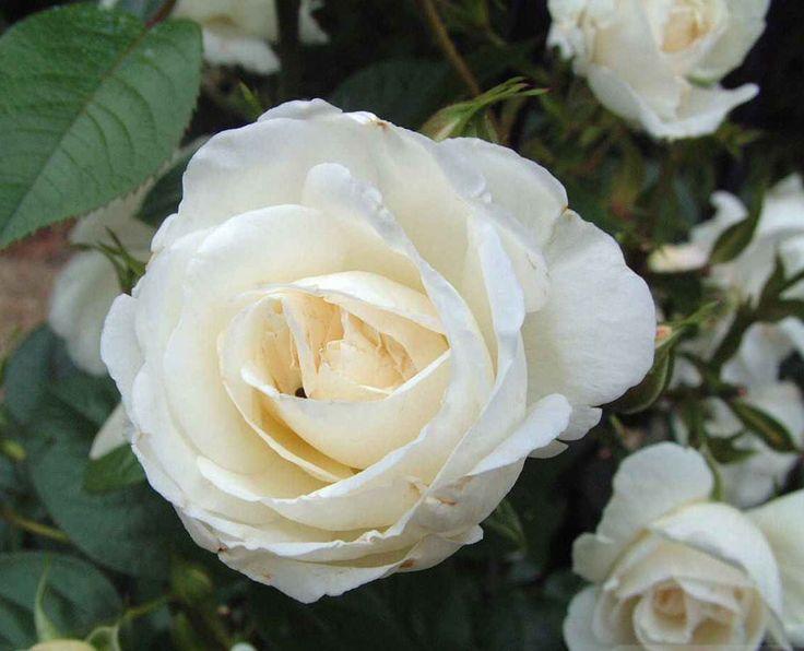 Τριαντάφυλλο η ανθοϊαση της συντροφικότητας
