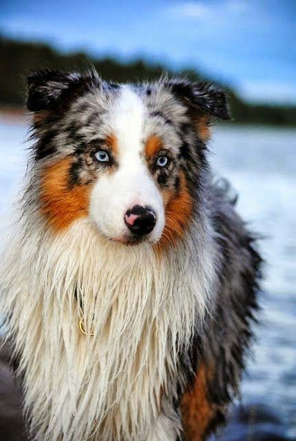 Australian Shepherd gorgeousness. ~ Cute puppy and dog