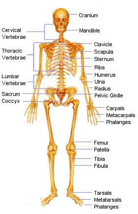 The 25+ best ideas about Human Skeleton Labeled on ...