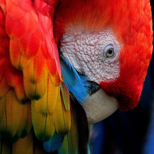 El hermoso y colorido plumaje de las guacamayas las convierte en una el grupo de aves con mayor amenza del tráfico animal. Actualmente seis de las 23 especies conocidas ya han desaparecido y las otras están en vía de extinción. Foto: @juanfotosadn (Juan Pablo Rueda Bustamante) / El Tiempo