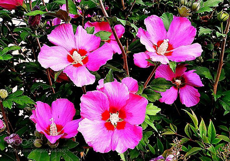 Stupendi Ibisco Hibiscus syriacus Woodbridge - Meravigliosi fiori Ibisco e bei colori in HDR la natura è vita e gioia per i nostri occhi. La pianta di Hibiscus syriacus Woodbridge appartiene alla famiglia Malvaceae ed è di tipo arbustivo. È chiamata anche con il nome comune di Ibisco. La pianta ha un altezza non troppo elevata è compresa tra 17 e 25 metri lespansione invece va da 15 a 22 metri. Per raggiungere il suo massimo vigore sono necessari mediamente 5-10 anni. La cultivar ha delle…