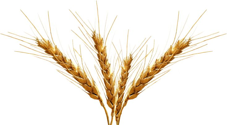 malted barley drawing - Google Search
