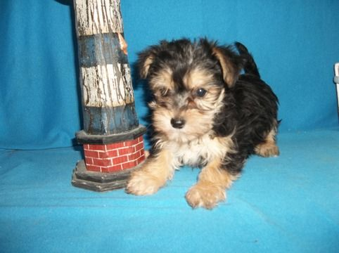Morkie Puppy For Sale In Tucson Az Adn 71898 On Puppyfinder Com