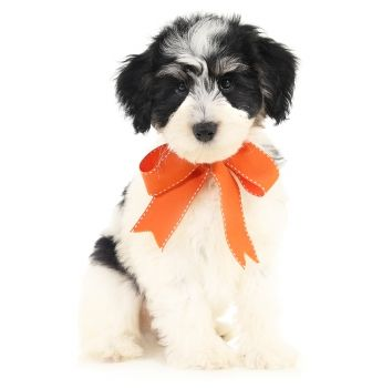 50 Best Schnoodle Puppies Available For Adoption Images On