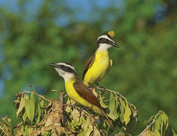You do not often see great kiskadees showing their crest... It could be male aggression or mating behavior!