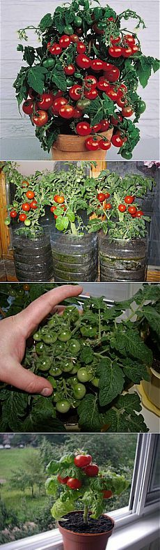 Cherry tomatoes on the windowsill.  |  WOMEN'S WORLD