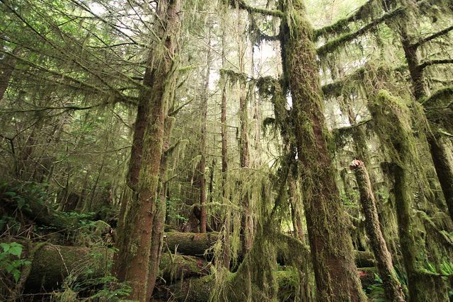 home of bigfoot, Quinault rain forest   Flickr - Photo Sharing!