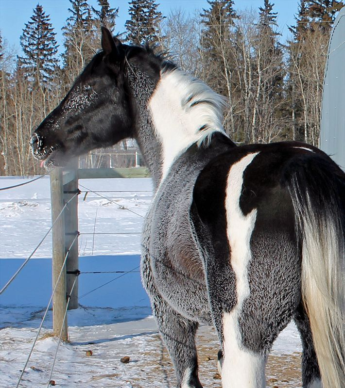 Image result for RDK Deceived - black tobiano stallion.