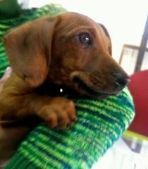 I'm in love, I'm in love and I don't care who knows it!  :) Doxie Love!