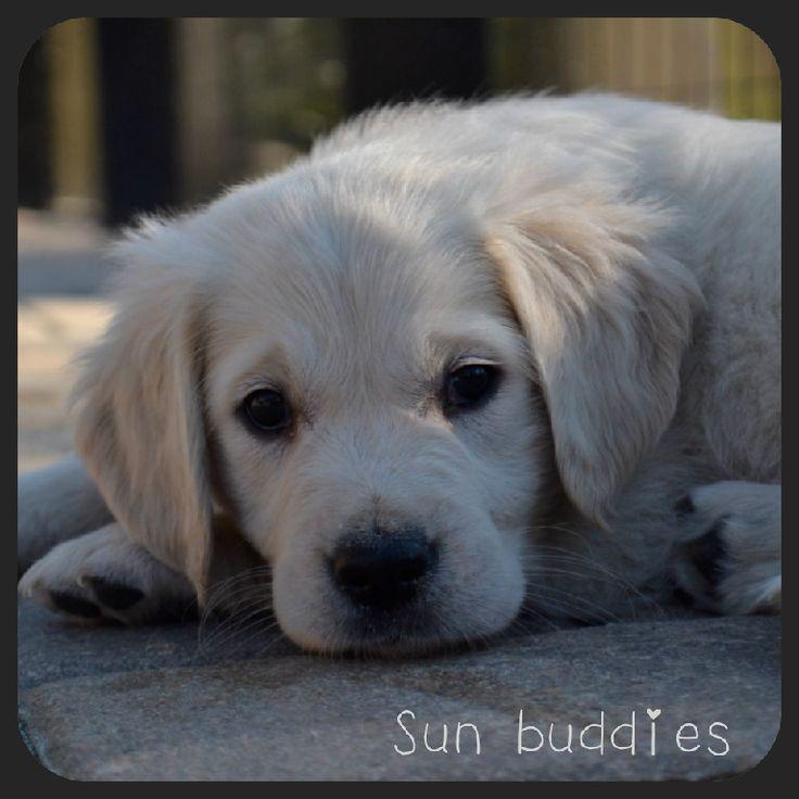 Cute Light Golden Retriever Best 25+ Golden...