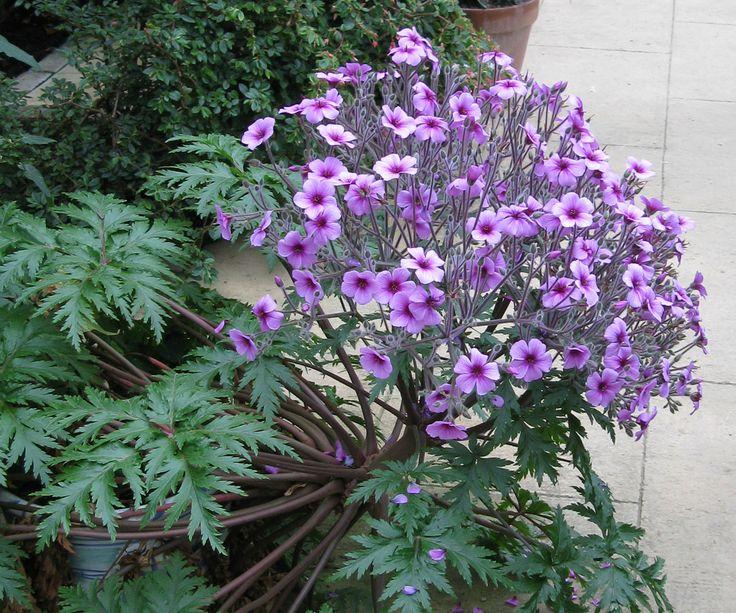 Another magnificent specimen in the Kitchen Garden.