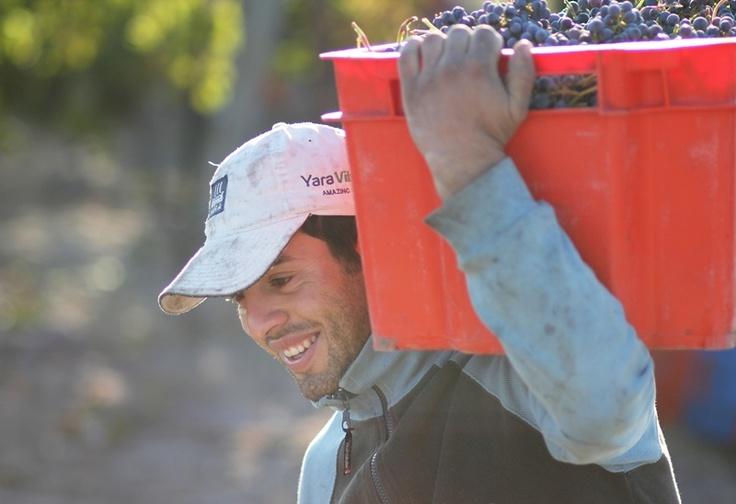 Vendimia 2013 de uvas Merlot en Finca Santa Herminia de Alfredo Roca.