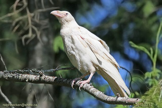 One of the famed leucistic Common ravens of Parksville, BC, where a pair has been breeding for a decade.