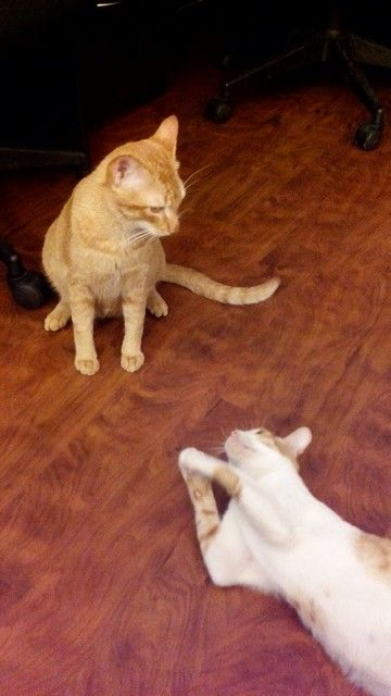 """""""Mama, I just killed a cat!"""" Nova's pose right after winning a cat fight. #cats #playfight"""