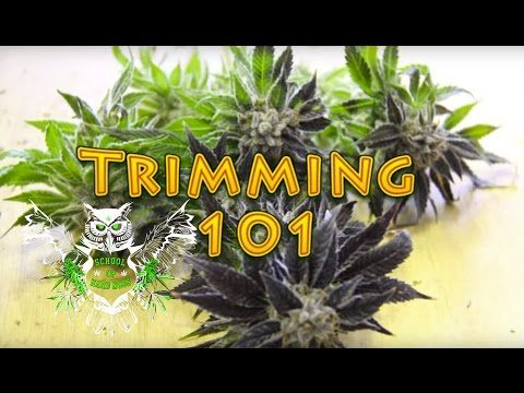 Trimming Cannabis | How to Trim Marijuana | Wet trimming | Harvesting Weed - YouTube