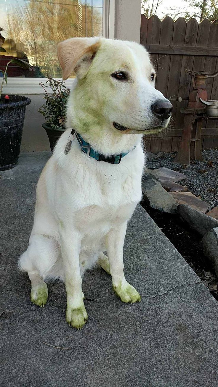 My Golden Husky wanted to help mow the lawnhttp://imgur.com/4OXSQQN