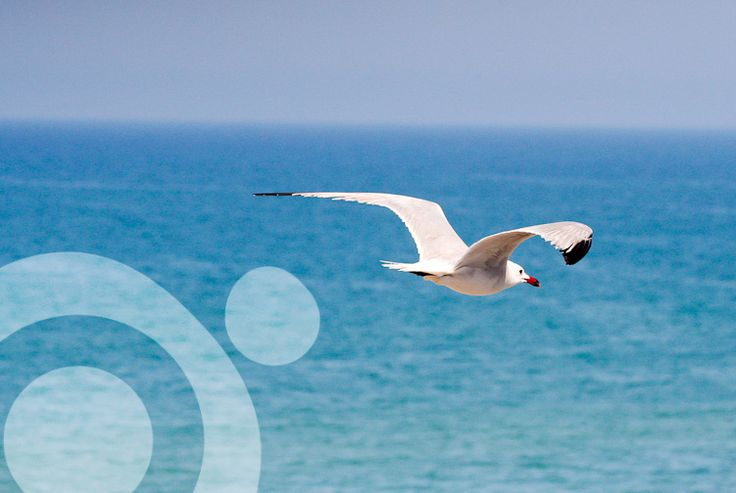 #Birding_in_Spain : Audouin's gull (Ichthyaetus audouinii or Latus audouinii) More information to plan your trip to #Vejer in www.qnatur.com