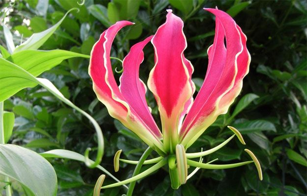 Top 11 Most Expensive Flowers in the World. Gloriosa ($6 – $10 per flower) Gloriosa is Native only in South Africa and Asia. It is one of the most expensive flowers due to its rarity and also uniqueness.  The flowers look amazing with long tendrils that support the bloom's weight and the leaves that are as long as 3 meters. It is also a decorative flower because of its flexed petals and changing color from tip to center.