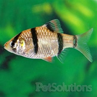 Tiger barb fresh water fish for Most aggressive freshwater fish