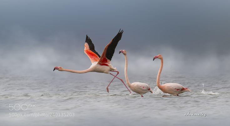 Flamingo - Greater Flamingo - Phoenicopterus roseus (ADNAN ATAÇ / Ankara / TÜRKİYE) #NIKON D5 #animals #photo #nature