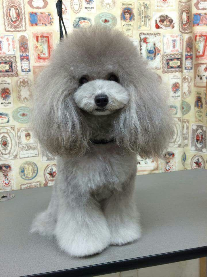 847 Best Images About Poodle Love On Pinterest Puppys