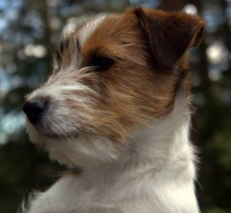 FINN – Jack Russell valper ventes Fredag 13.01