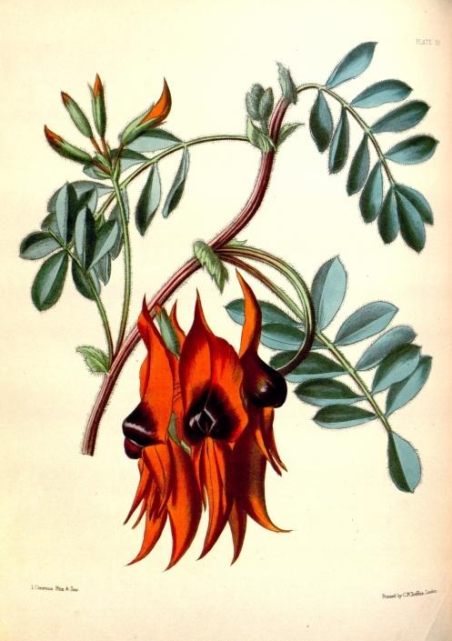 Historical botanical illustration of the day: Swainsona formosa