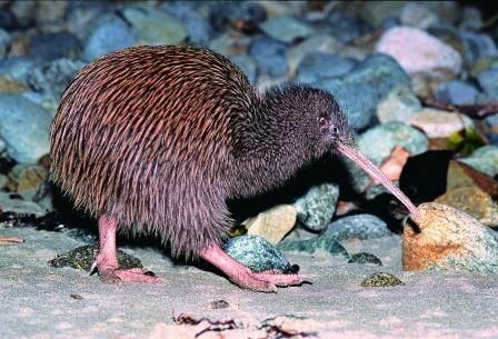 Trovolo - Southland #travel #photography #southland #newzealand #bluff #kiwi #bird #wildlife