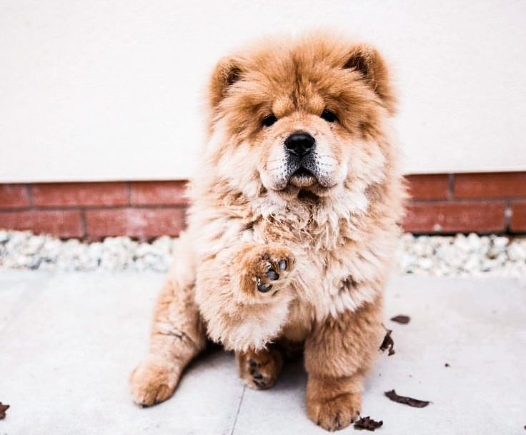 Sweet Chowchow Chow Chows Chow Chow Dogs Cute Baby Puppies Dogs