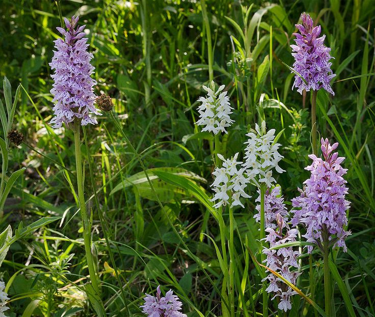 Wild orchids flowering near Dunstable Downs, Bedfordshire, UK | The Flowering English Countryside (17 of 30) | by ukgardenphotos