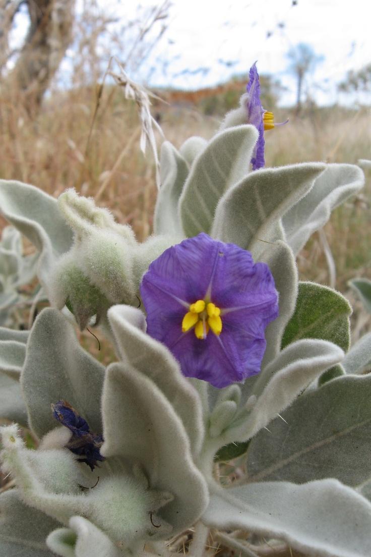Australian wildflower