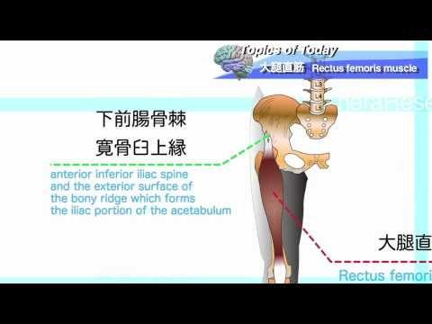 大腿直筋 Rectus femoris muscle:理学療法士による身体活動研究 - https://www.youtube.com/watch?v=0sotV6cC0VU