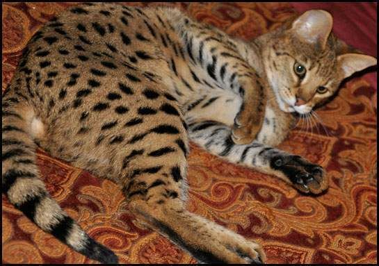 savannah cats for sale Brunei ADORABLE SAVANNAH KITTENS