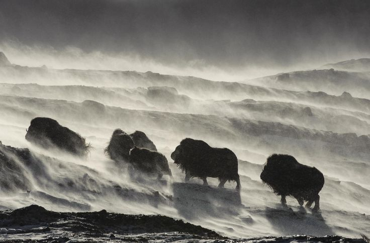 Vincent Munier est un photographe animalier français amoureux des pays froids et de leurs animaux. Découvrez son superbe travail.  - #blog #grainedephotographe