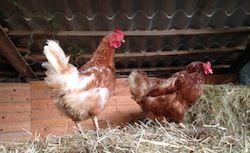 #hens #organic #eggs Ecotourism Podere Borgo di Vigoleno®