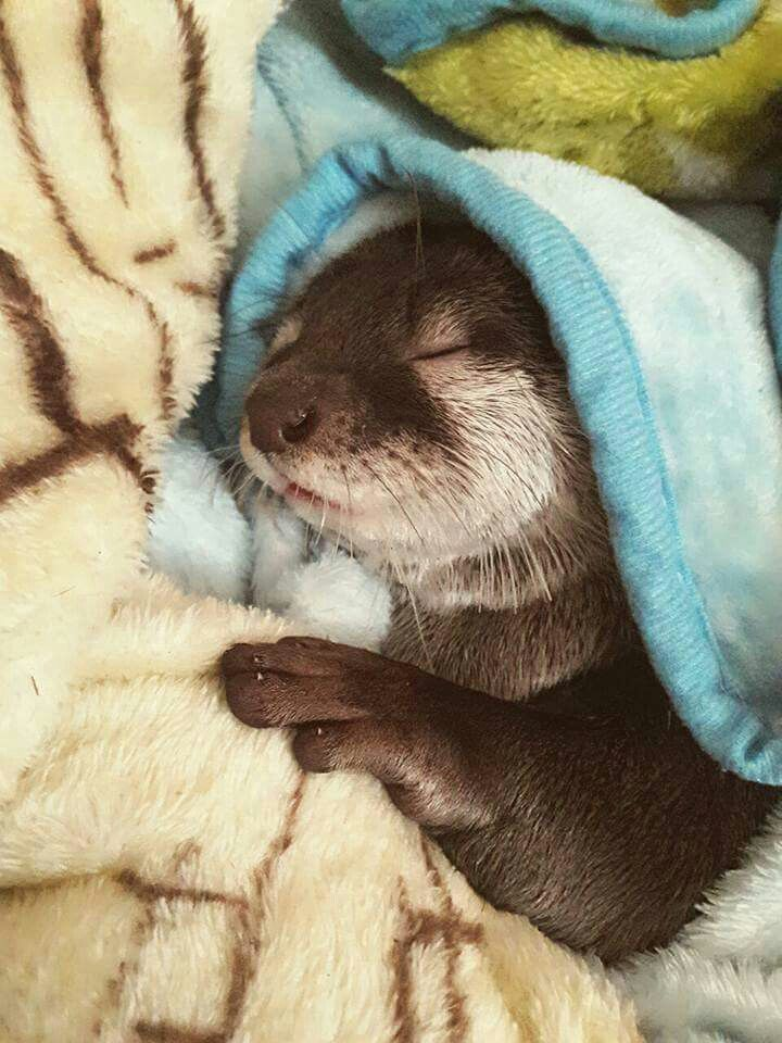 Sleepy Sea Otter, are so Cute. Animal always is the best without any worry, don't need to earn Money, unlike us humans. Animal can make u happy at the same time can make u sad also.