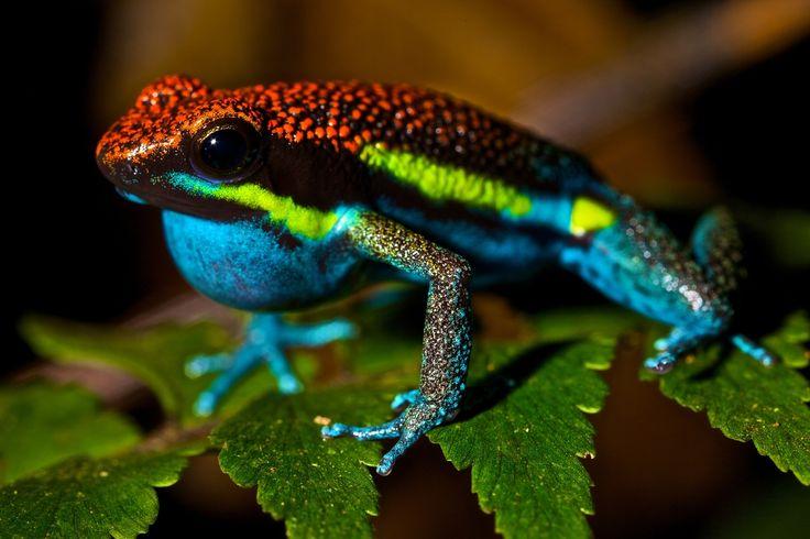 「熱帯雨林の宝石」ヤドクガエルの世界【写真ギャラリー】