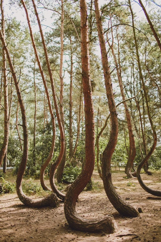 Ide Terbaik Crooked Forest Di Pinterest Pohon - To this day the mystery of polands crooked forest remains unexplained