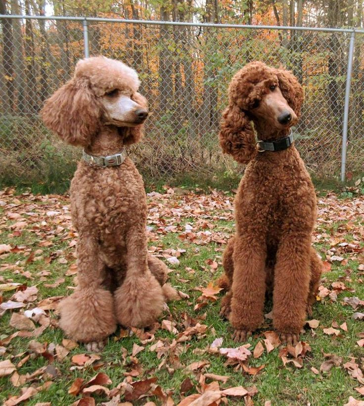 poodle essay View essay - essay1(261) from biology 261 at concordia university  to mix  in offspring – when you cross a labrador and a poodle (two breeds of dogs), you .