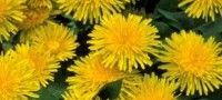 Dandelion - Leaves especially - Potassium sparing diuretic. Detox, supports liver, digestion, kidneys Cholerectic - increases bile production Cholagogue - enhances bile movement