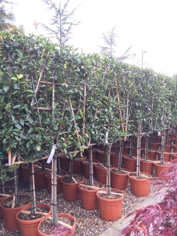 Photinia Red Robin Pleached Trees. Photinias Buy Online UK