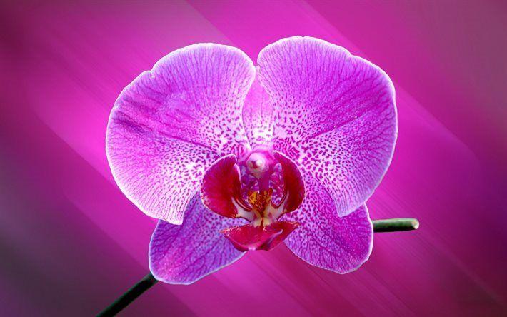Scarica sfondi rosa orchidea, fiore tropicale, orchidee, fiori bellissimi