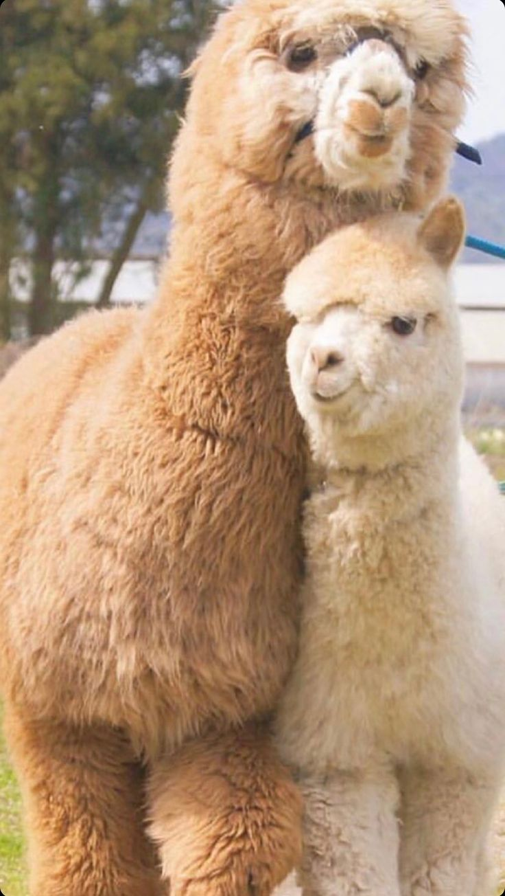 Happy Alpacas posing for pictures | Posing for Pictures ...