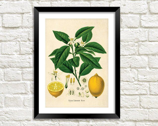 LEMON TREE PRINT: Vintage Botanical Yellow Fruit Art