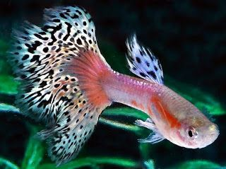 ikan hias air tawar terindah,ikan hias air tawar yang bisa dicampur,ikan hias aquarium tanpa oksigen,ikan hias termahal,jenis ikan hias air tawar kecil,jenis ikan hias dan harganya,